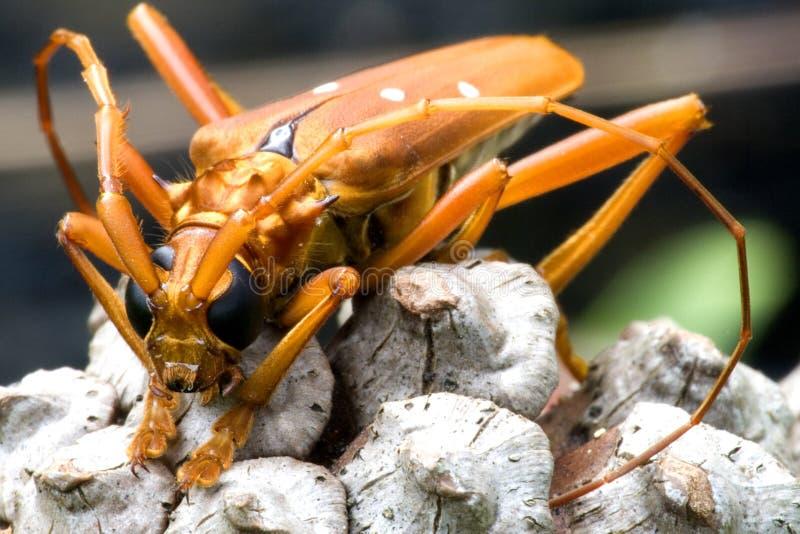 甲虫热带长角牛的雨林 免版税库存图片
