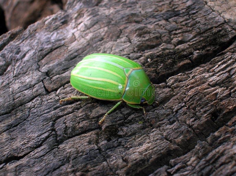 甲虫玻利维亚人 库存照片