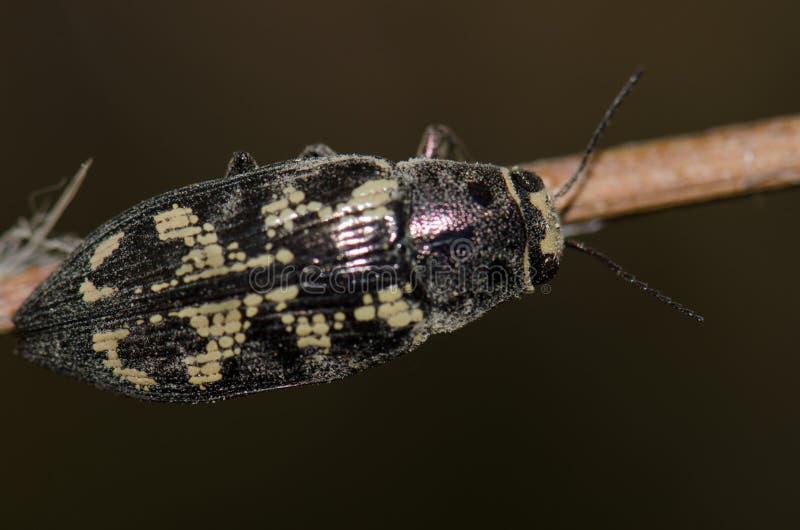 甲虫珠宝 库存图片