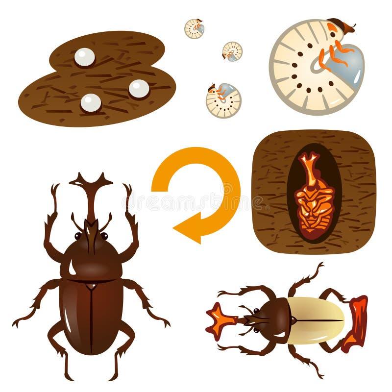 甲虫的生长周期 皇族释放例证