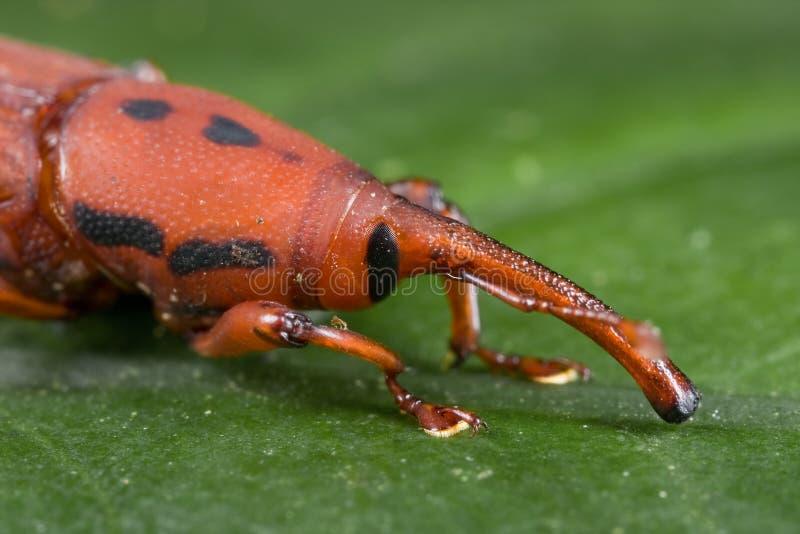 甲虫红色口鼻部象鼻虫 免版税图库摄影