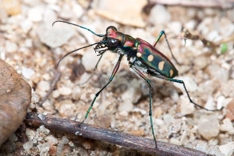 甲虫老虎 库存照片
