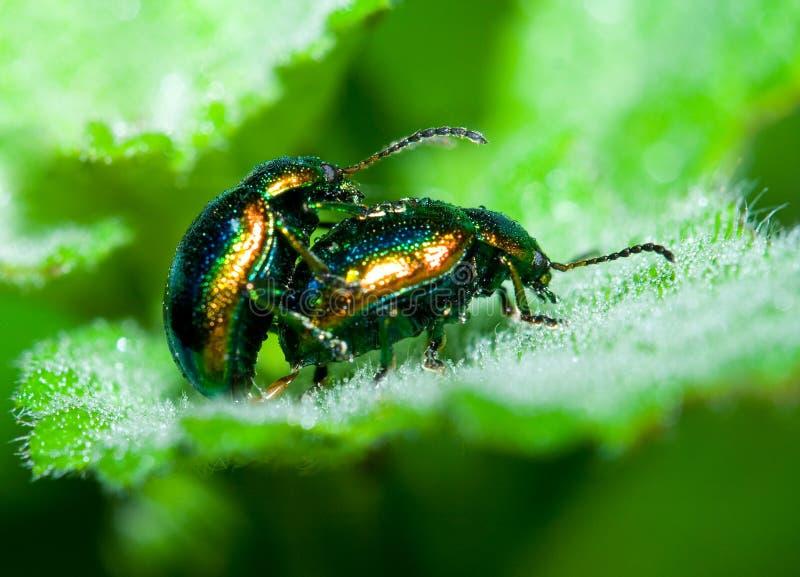 甲虫联接 库存照片