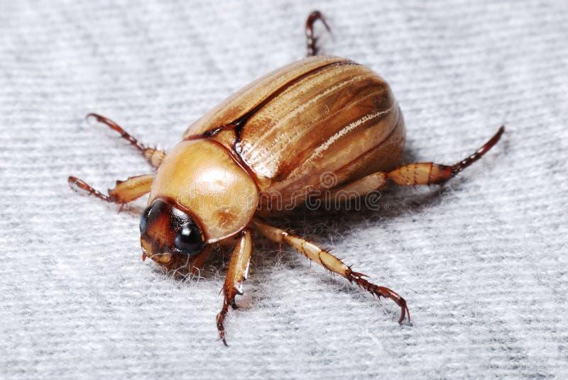 甲虫褐色 免版税库存照片
