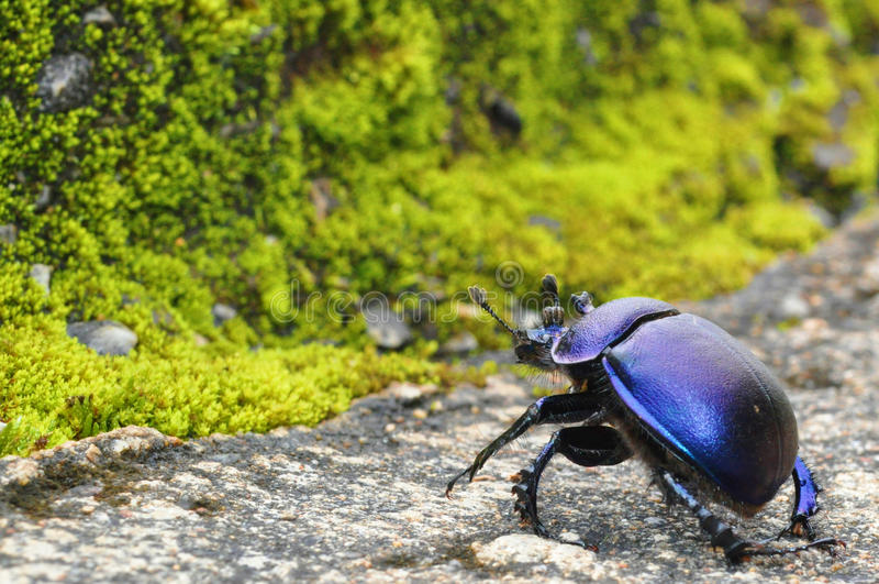黑甲虫通过笤帚森林青苔窃取 免版税库存图片