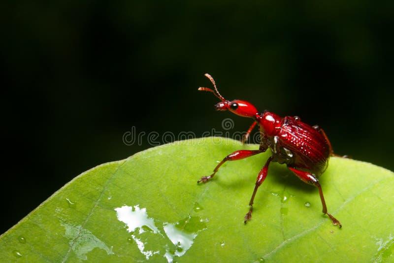 甲虫长颈鹿 免版税图库摄影