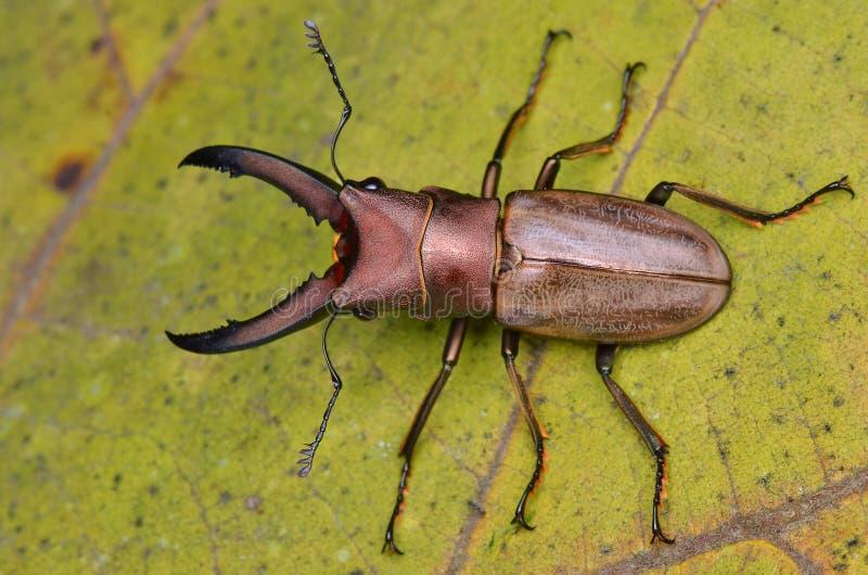 甲虫雄鹿 免版税库存图片