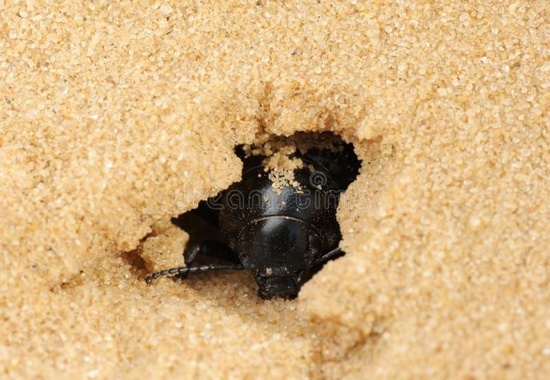 甲虫黑暗的沙子 库存图片