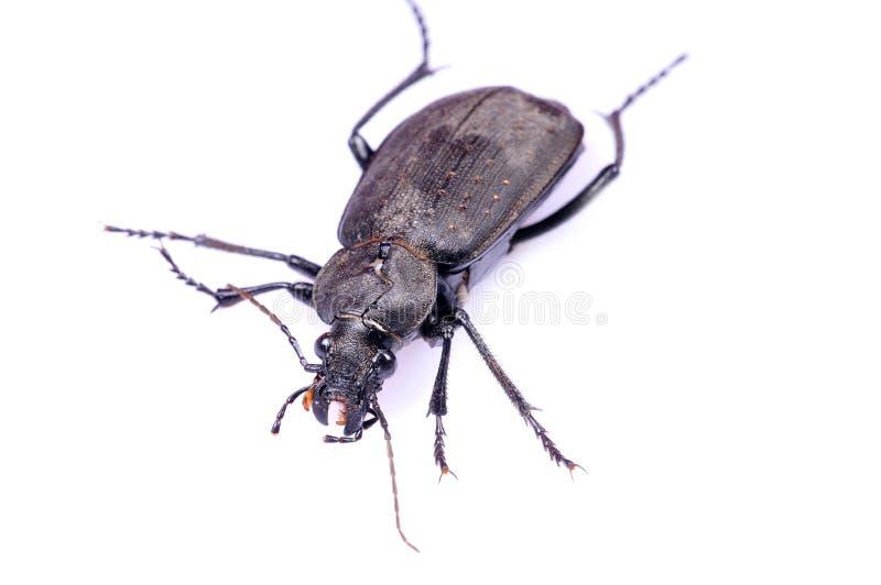 甲虫黑色特写镜头 库存照片