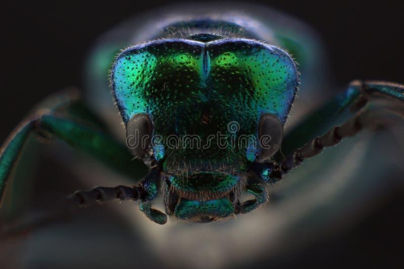 甲虫-西班牙飞虫Lytta vesicatoria头  宏指令 图库摄影