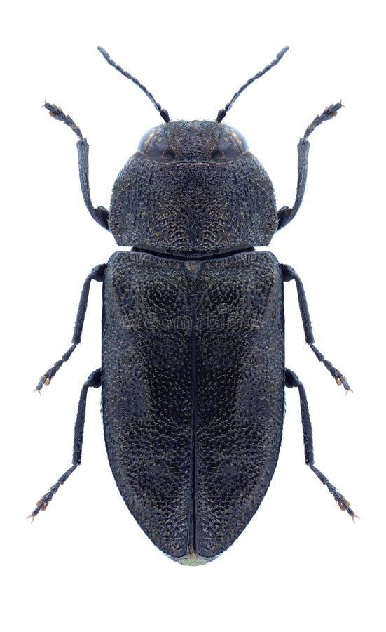 甲虫Anthaxia运货马车的车夫 库存照片
