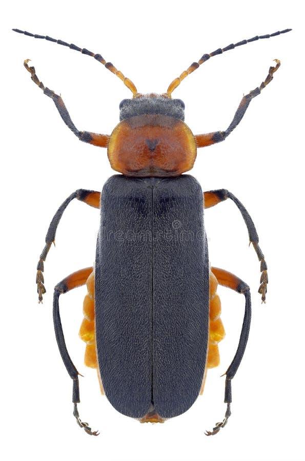 甲虫Cantharis rustica 免版税库存照片