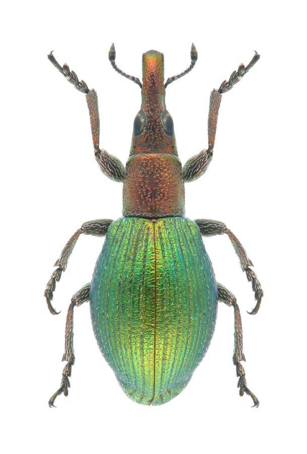 甲虫Pseudaplemonus artemisiae 免版税图库摄影