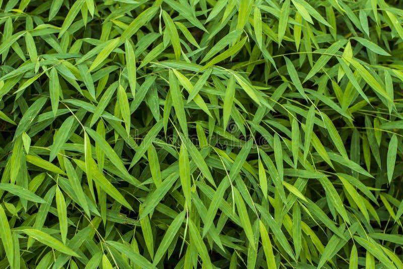 电绿色新鲜空气臭氧概念的密林绿叶婴孩竹植物 图库摄影