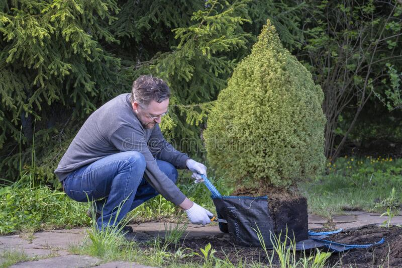 男人在花园里工作 园丁采伐包装幼针树种植树 加拿大云杉 免版税库存照片