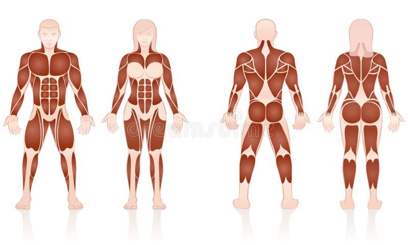 男女肌肉解剖比较 皇族释放例证