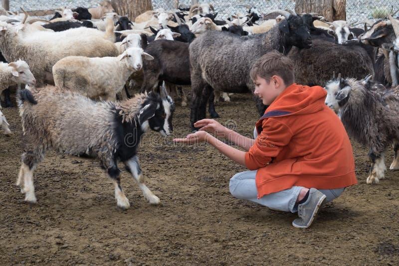 男孩和山羊 免版税库存图片