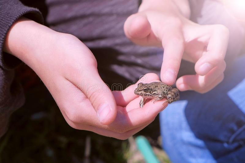 男孩在捉住小的青蛙的手上举行并且接触它,手特写镜头 图库摄影