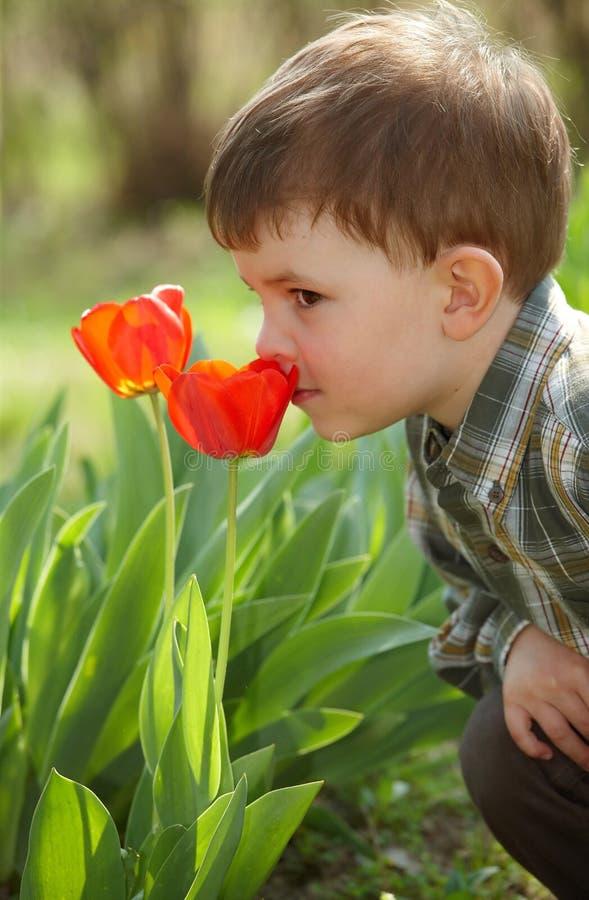 男孩小的嗅到的郁金香 免版税库存照片