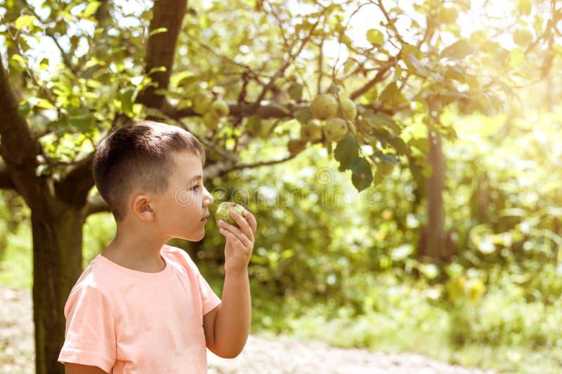 男孩愉快关于收集新鲜的生物苹果在农场 免版税库存照片