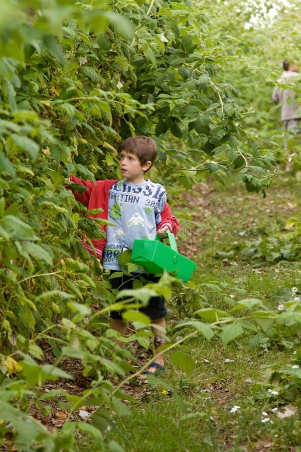 男孩挑选莓 图库摄影