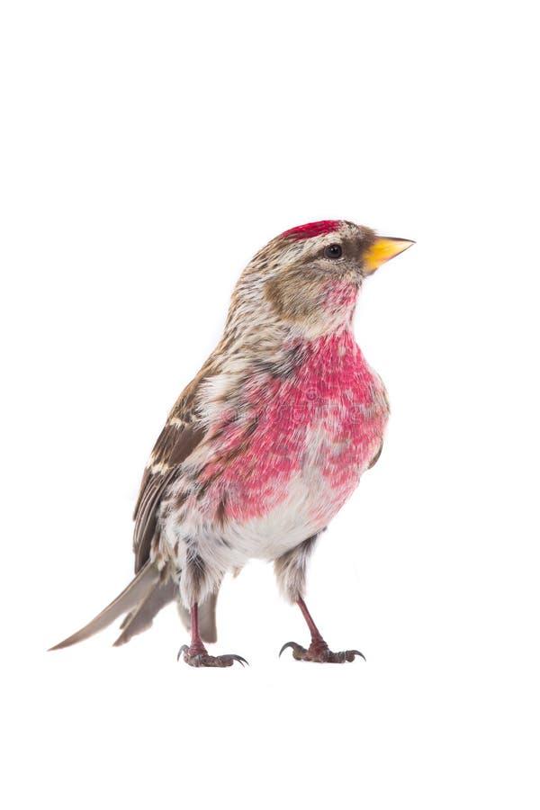 男性共同性红弱鸟 免版税库存图片
