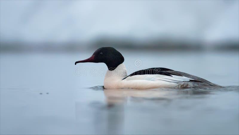 男性共同的秋沙鸭游泳在冬天有雾的早晨 免版税图库摄影