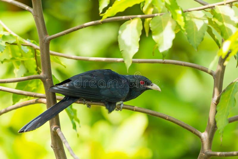 男性共同的Koel (亚洲人Koel)鸟 免版税库存图片