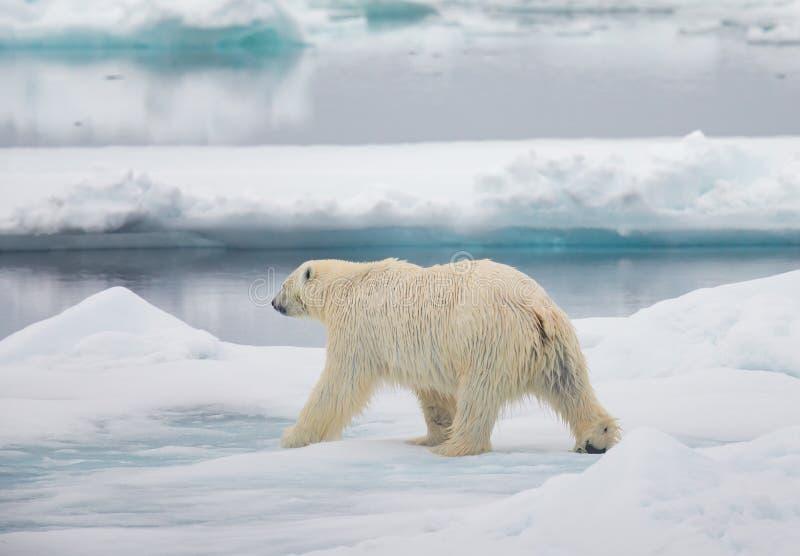 男性北极熊走 库存图片