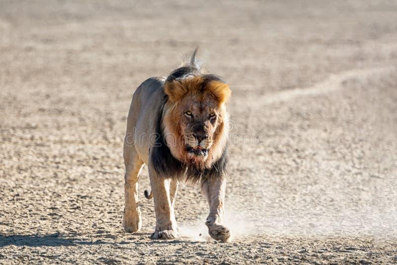 男性卡拉哈里狮子 免版税库存图片