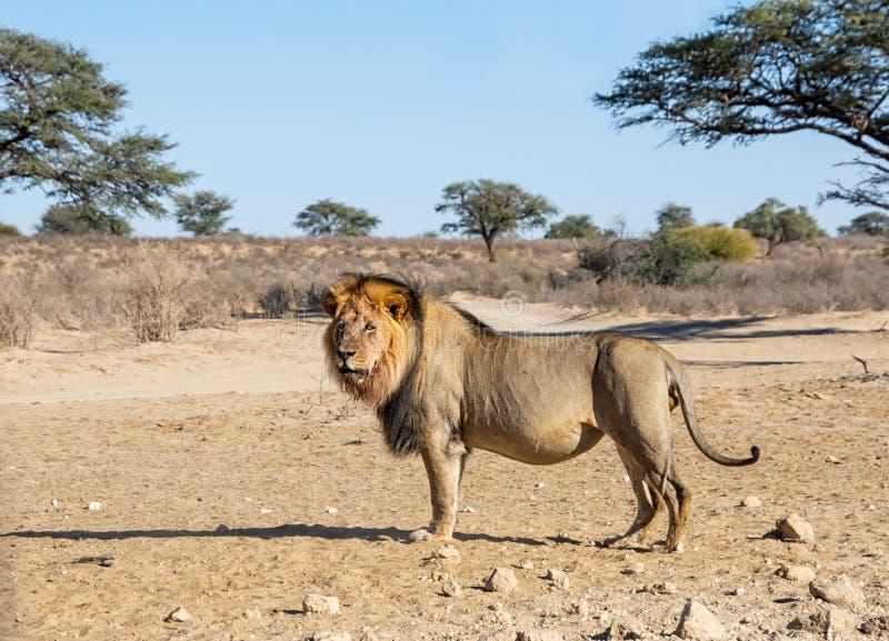男性卡拉哈里狮子 免版税库存照片
