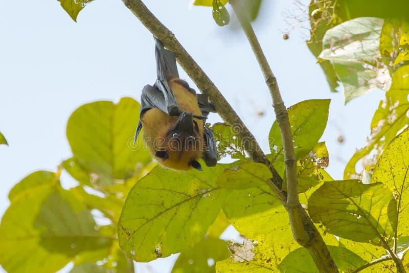 男性印度果蝠栖于 免版税库存照片