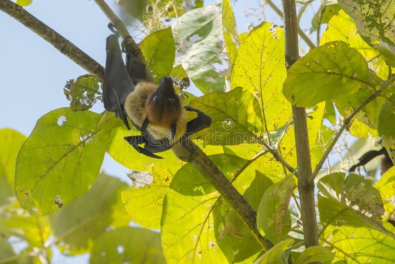 男性印度果蝠/巨型果实蝙蝠 免版税库存照片