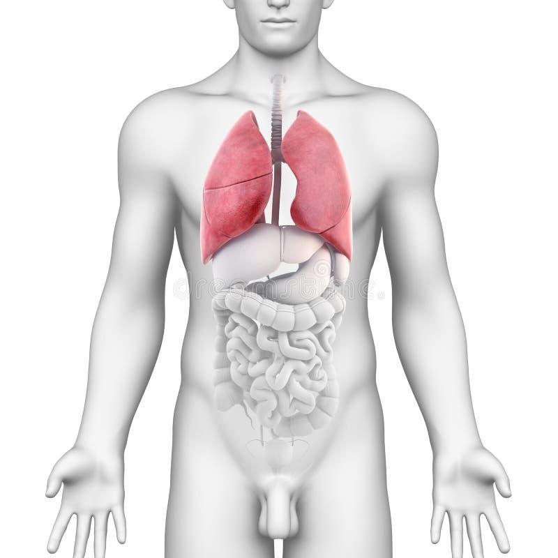 男性呼吸系统的肺解剖学 向量例证