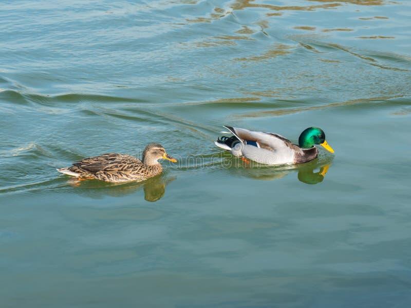 男性和女性野鸭鸭子游泳在一个池塘用绿色水 免版税库存图片