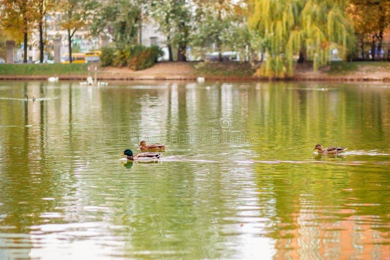 男性和女性野鸭鸭子游泳在一个池塘用绿色水 免版税库存照片