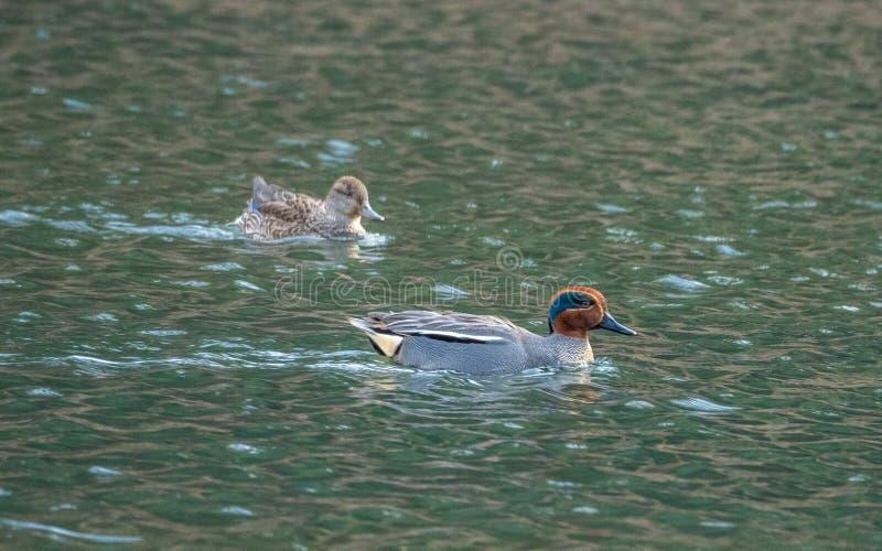 男性和母欧亚小野鸭,语录crecca Blackford池塘,爱丁堡 库存图片