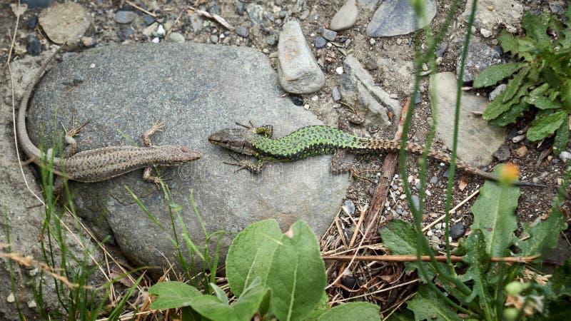 男性和母蜥蜴坐在彼此对面 图库摄影
