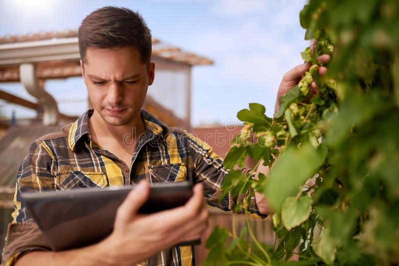 男性在一个屋顶庭院的花匠评估的蛇麻草有机啤酒生产的 免版税库存照片