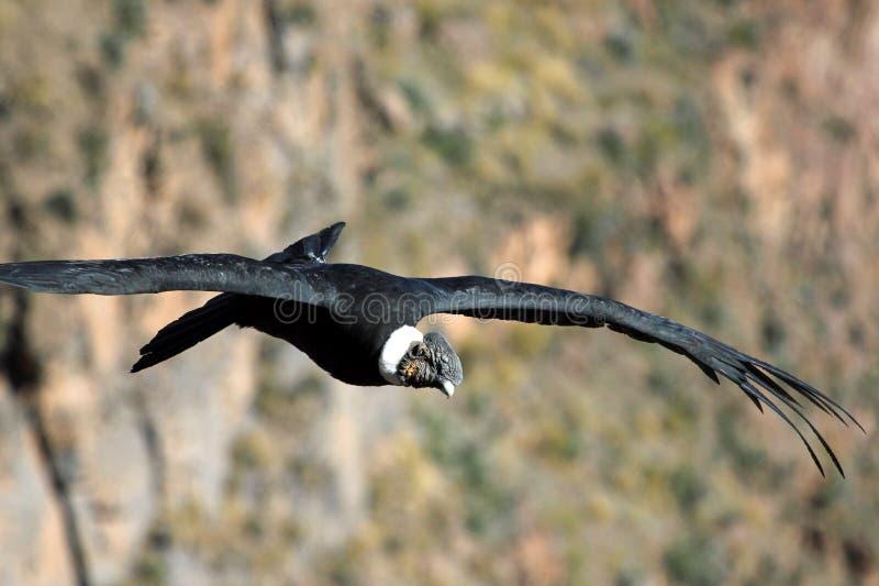 男性安第斯秃鹰飞行关闭 库存照片
