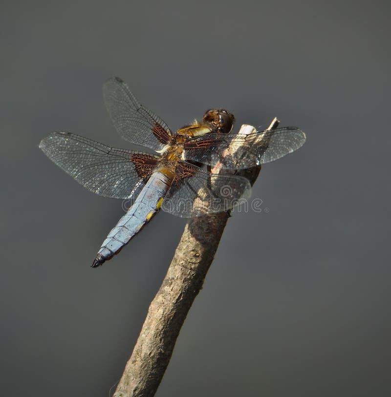 男性宽广有驱体追赶者蜻蜓休息 库存照片