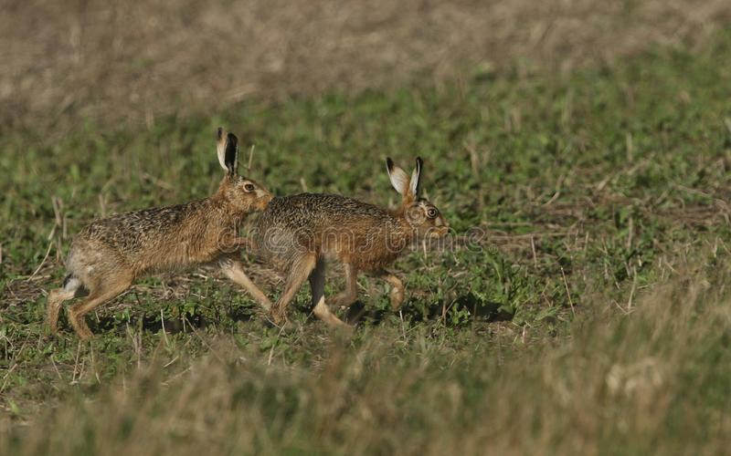 男性布朗野兔,天兔座europaeus,追逐女性在助长季节期间 图库摄影