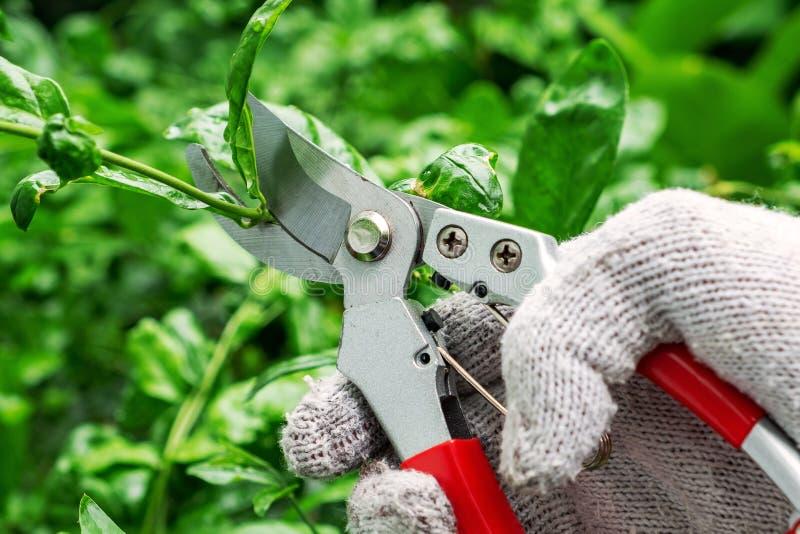 男性手修剪与修枝剪的树 生存分支古芝 免版税库存照片