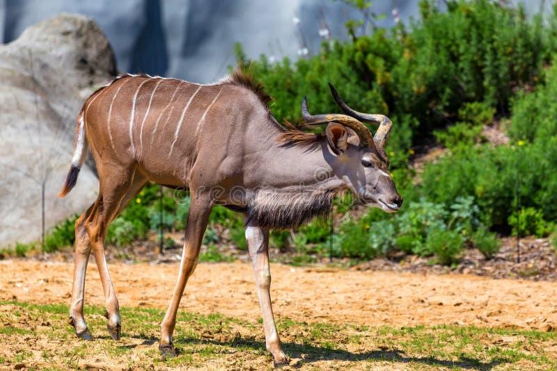 男性更加伟大的kudu或非洲羚羊类弯角羚类在动物园里 免版税库存图片