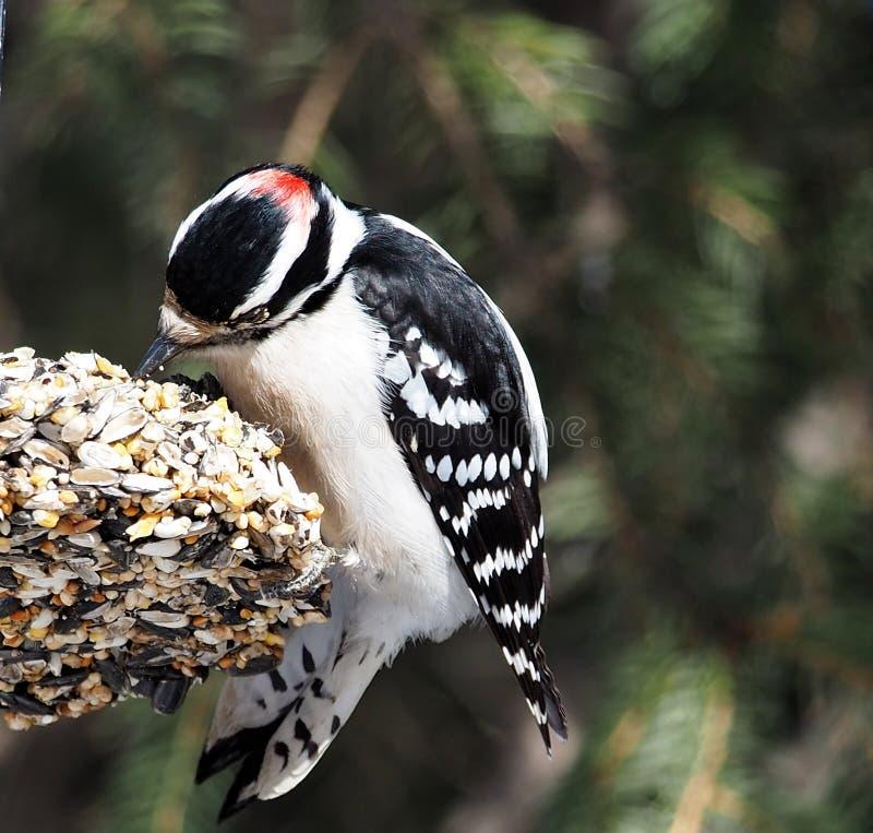 男性柔软的啄木鸟或Picoides Pubescens 免版税图库摄影