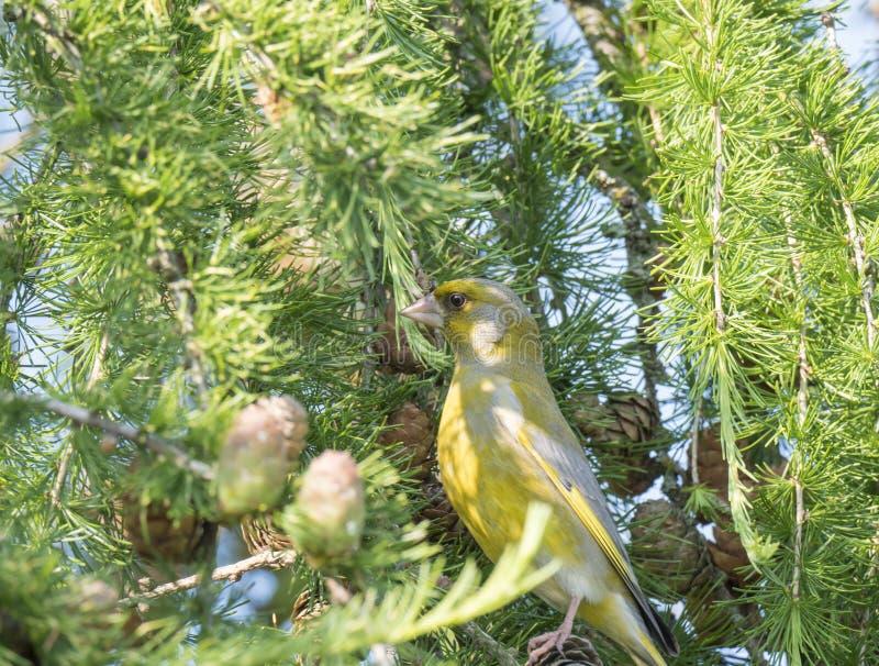 男性欧洲greenfinch虎尾草属虎尾草属的关闭坐落叶松属树和啄和吃锥体种子的分支 库存照片