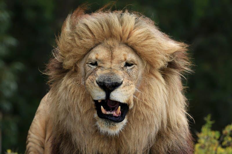 男性狮子鬼脸 免版税库存照片