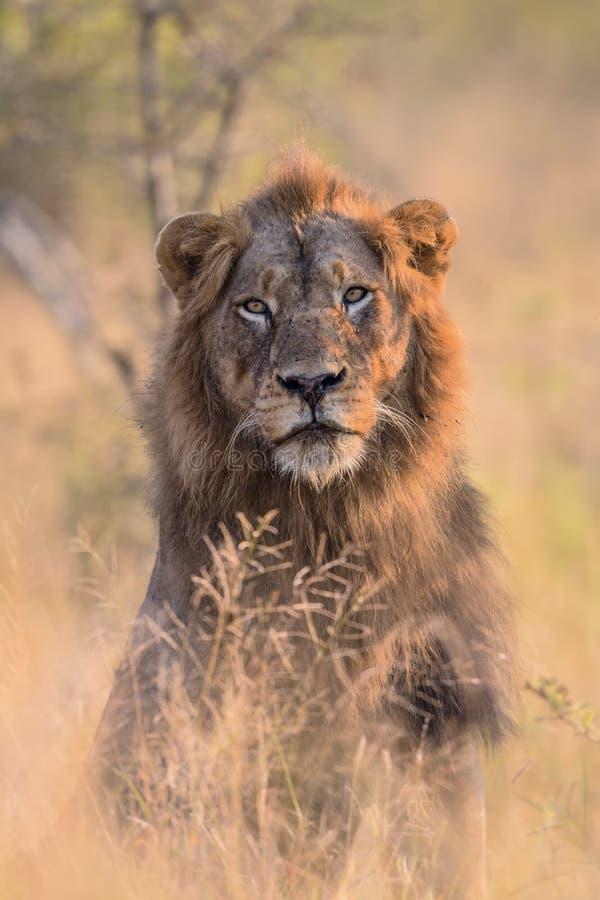 男性狮子画象在克留格尔国家公园 免版税图库摄影