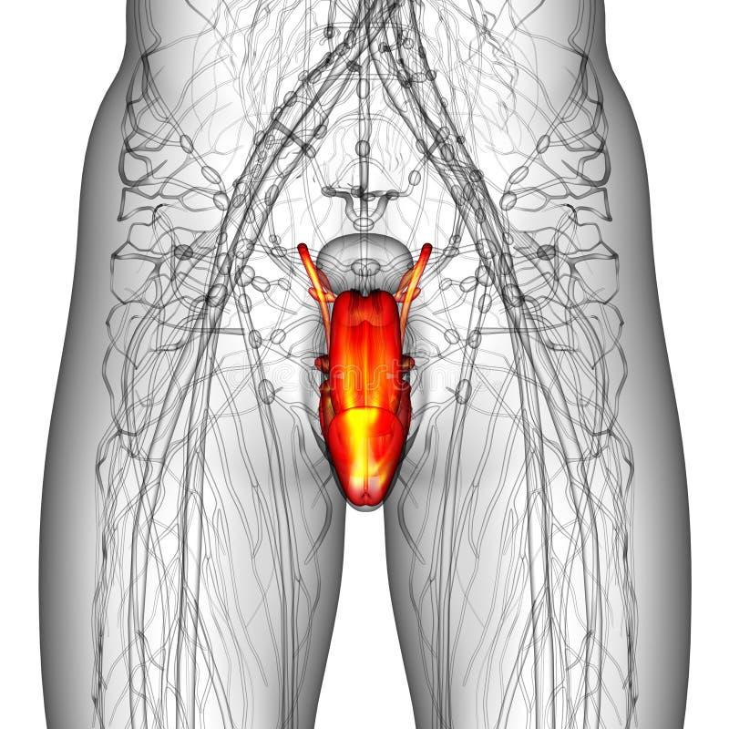 男性生殖系统 库存例证