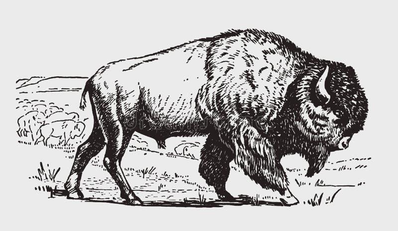 男性美国人抱怨在侧视图的北美野牛,站立在它的牧群前面 向量例证